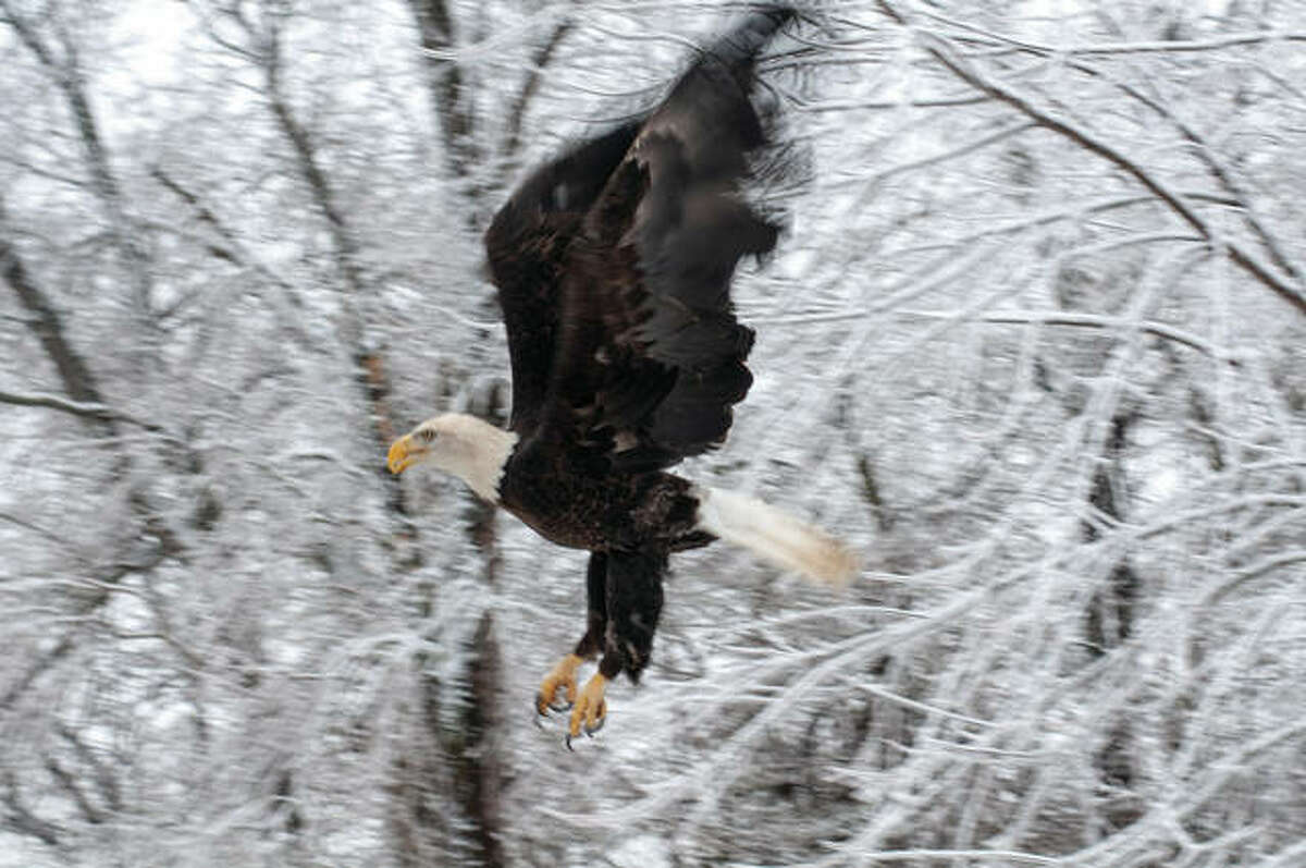 A bald eagle flies to the tops of trees in Morgan County after its post-rehabilitation release.