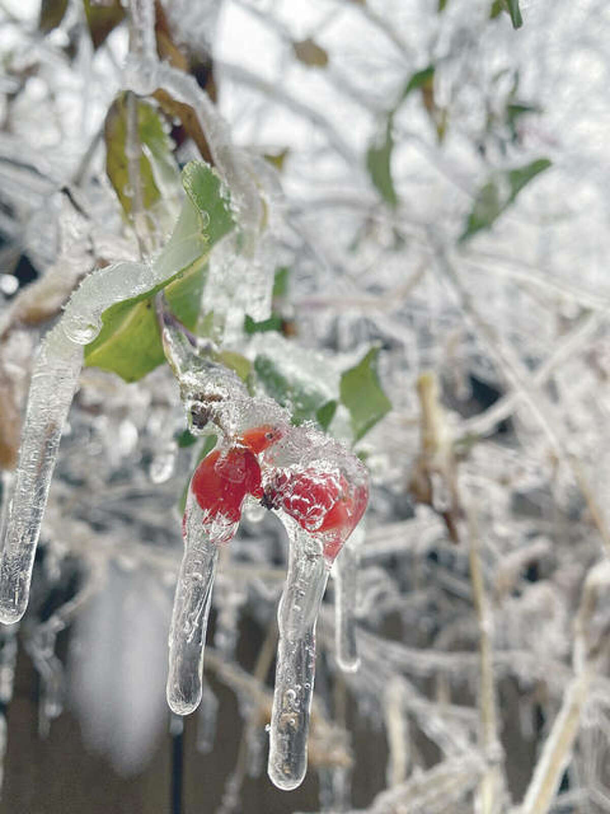 Icicles droop from ice-encased leaves on a tree. A new year's storm left much of west-central Illinois coated in a layer of ice and a dusting of snow. More reader photos are available inside today's newspaper and also online.