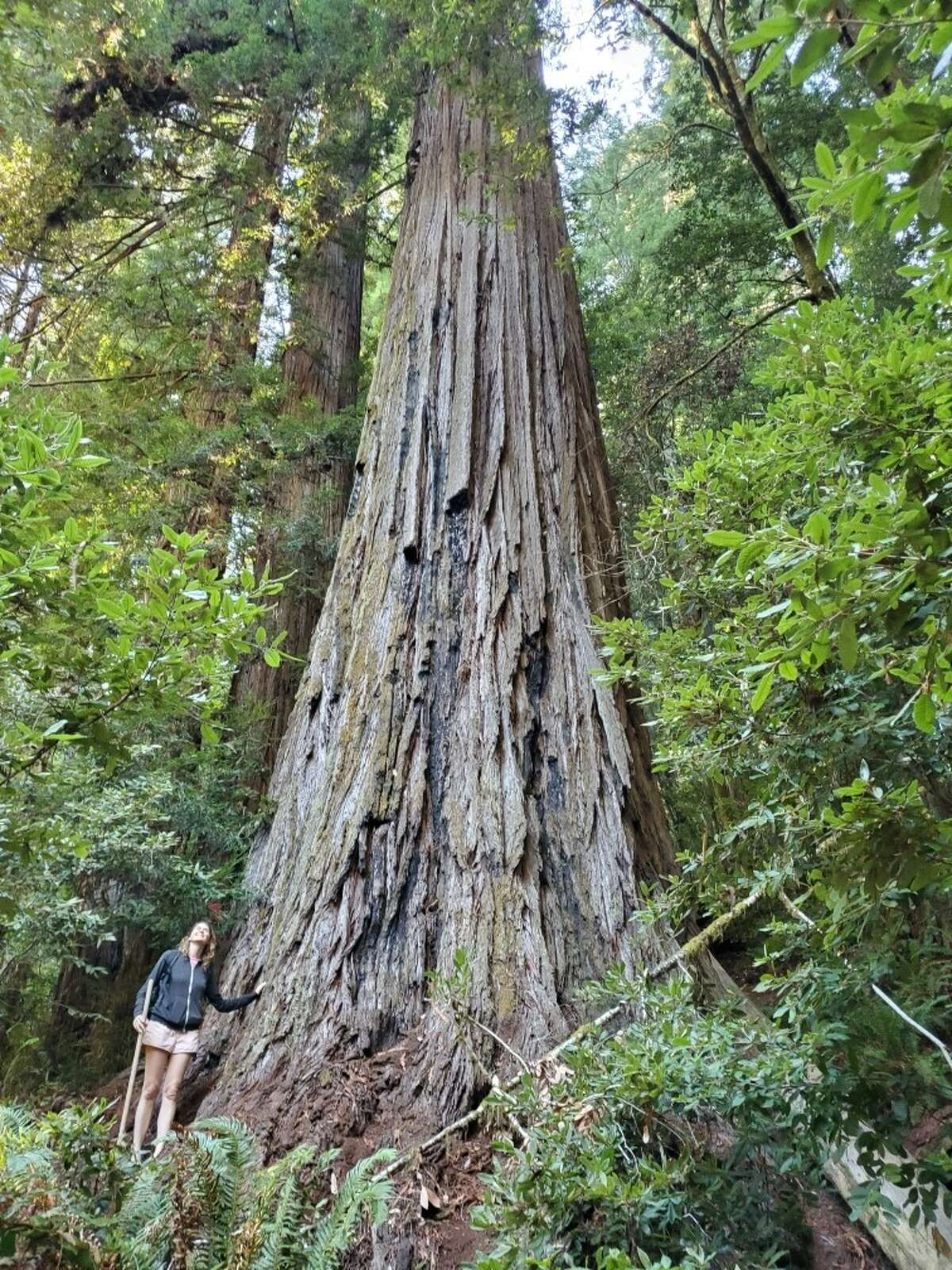 The author poses with Hyperion, the world's tallest tree. She later learned that when many people walk and stand in the same spots near redwoods, they can damage the understory and roots systems.