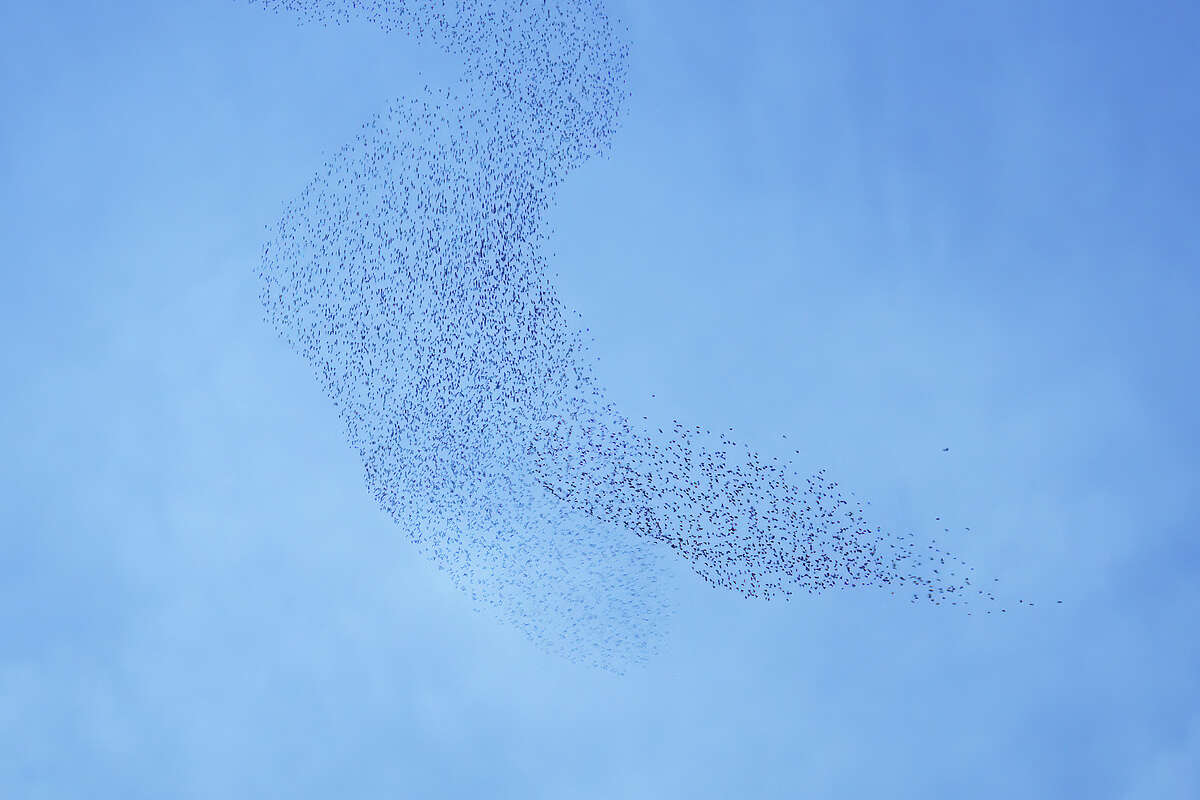Thousands upon thousands - maybe even more than a million - birds have flocked together in murmurations at dusk above San Rafael, Calif.