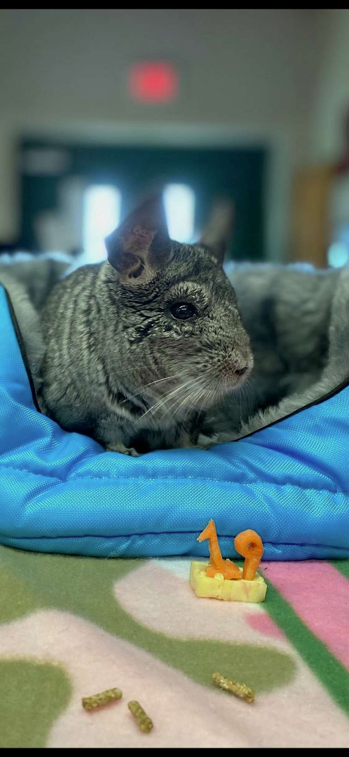 Wiggles on his 19th birthday. The chinchilla - elected as mayor of the Beardsley Zoo in Bridgeport, Conn., in November 2020 - died Sunday from