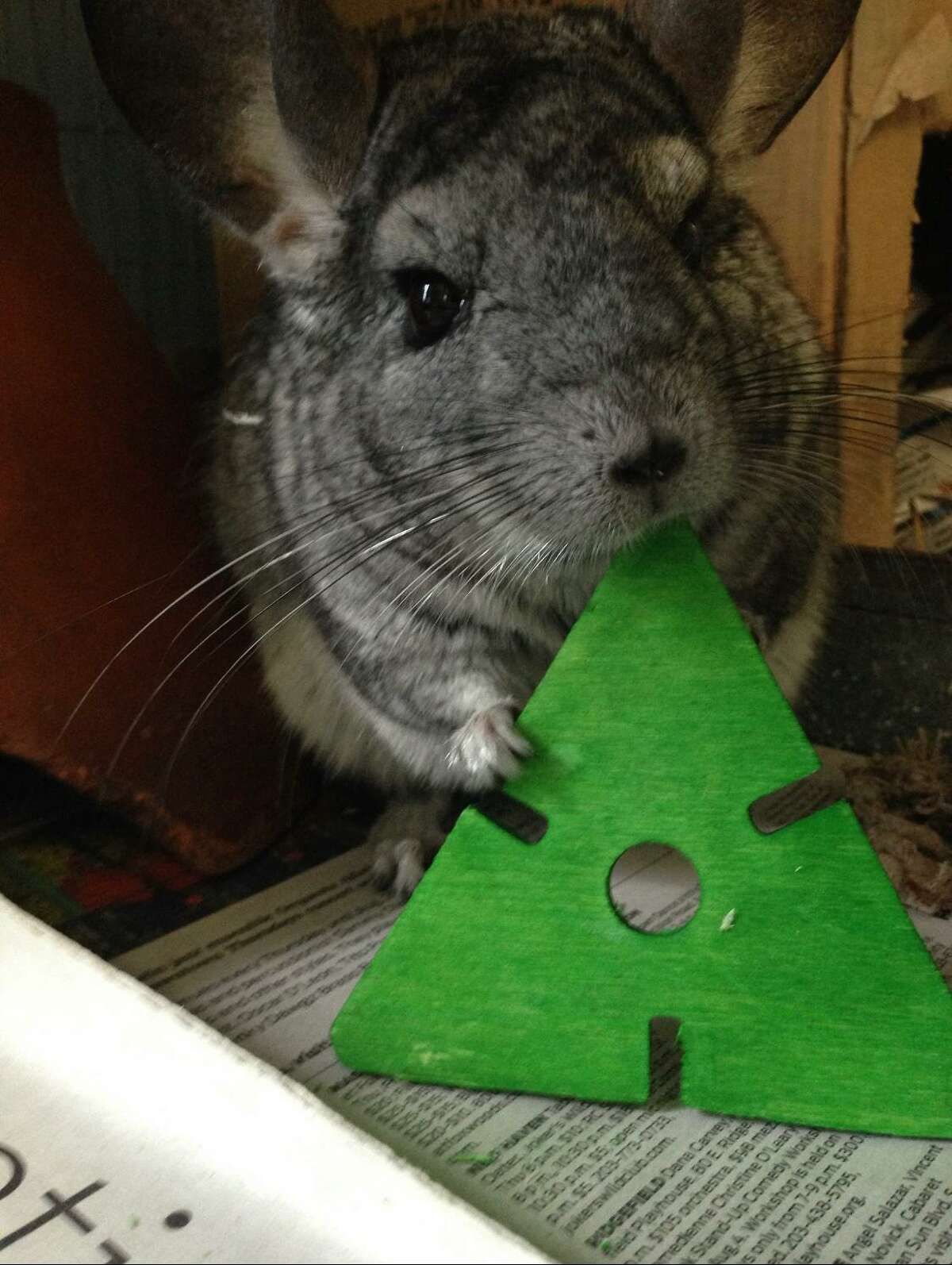 Wiggles the chinchilla - elected as mayor of the Beardsley Zoo in Bridgeport, Conn., in November 2020 - died Sunday from