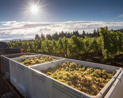 Riesling grapes are harvested for Brooks Winery in Oregon's Willamette Valley.