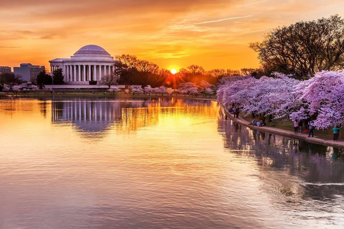 Peak bloom at the Tidal Basin.