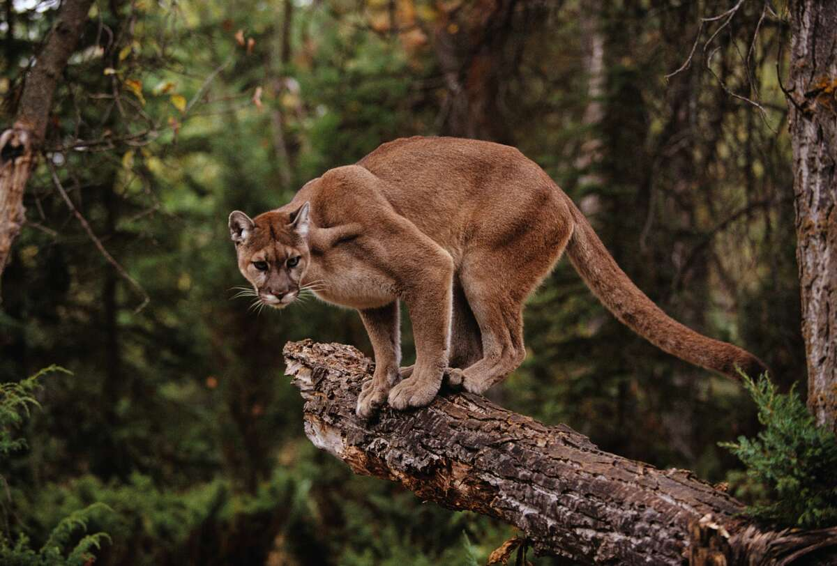 The multiple sightings of mountain lions in Santa Cruz County are raising concerns that the cats' condition is linked to last year's wildfires in the region. The mountain lion pictured here is not among the malnourished cougars sought by local wildlife groups.