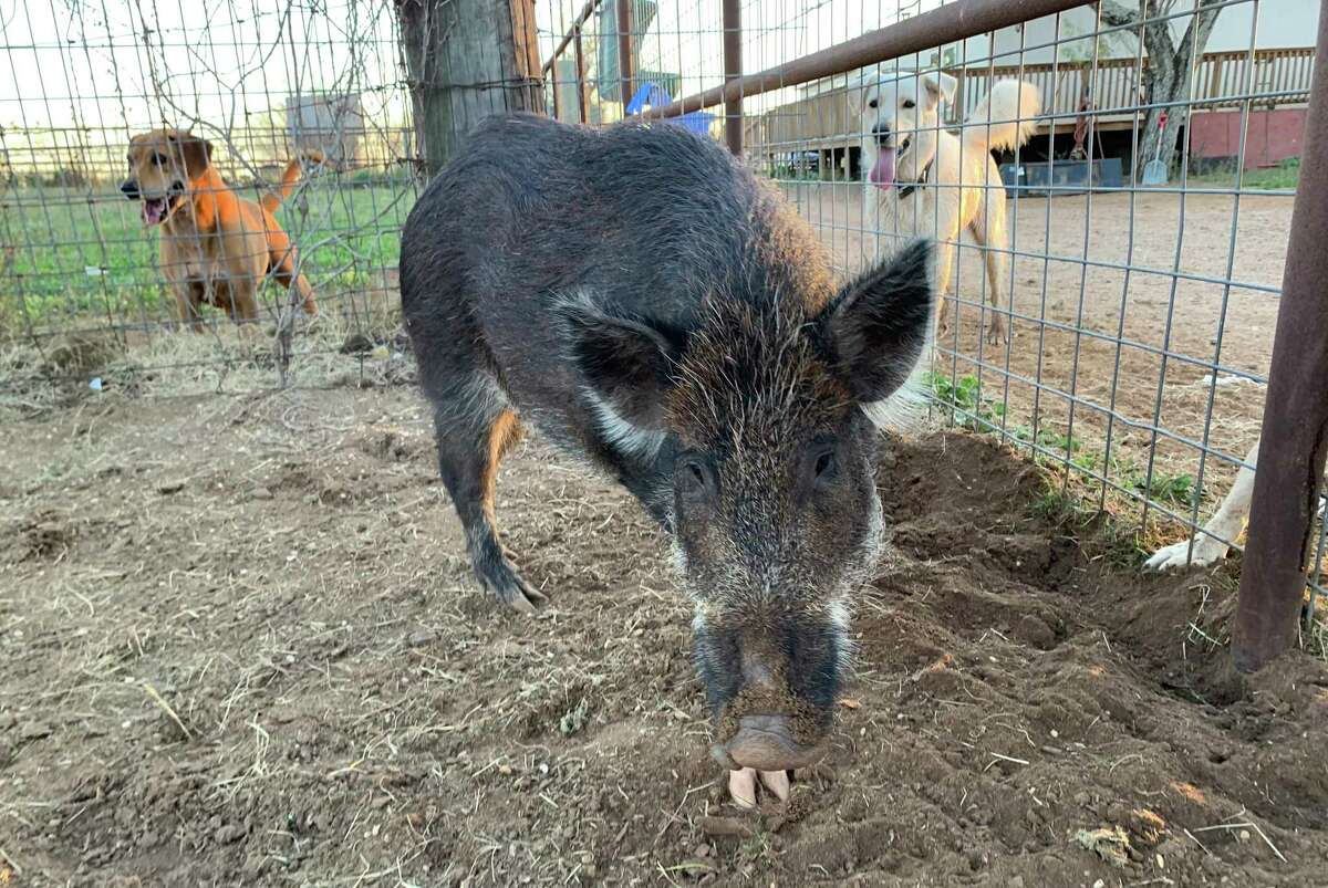 Piggie the rescued feral pig at Molino de Sueños Animal Rescue and Sanctuary in Bigfoot, 45 minutes southwest of San Antonio. Molino owner Olga Dib is training Piggie to be a therapy animal.