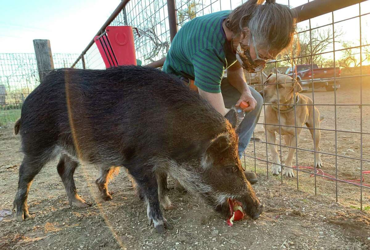 Olga Dib feeds Piggie an apple at Molino de Sueños Animal Rescue and Sanctuary in Bigfoot, 45 minutes southwest of San Antonio. Dib is training Piggie to be a therapy animal.
