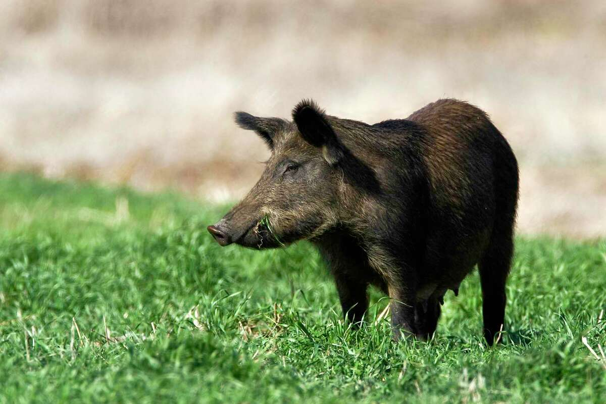Feral hogs are a major nuisance to farmers and wildlife habitats, causing millions of dollars in destruction and control costs.