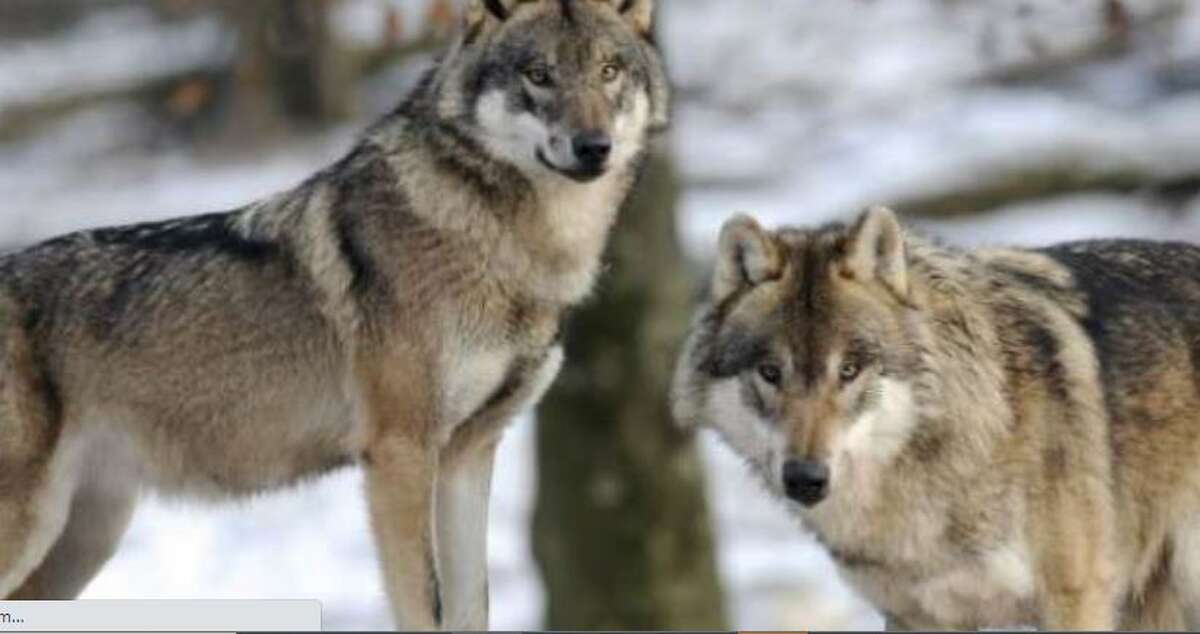 Lawmakers are joining the call to keep wolves on the state endangered list.