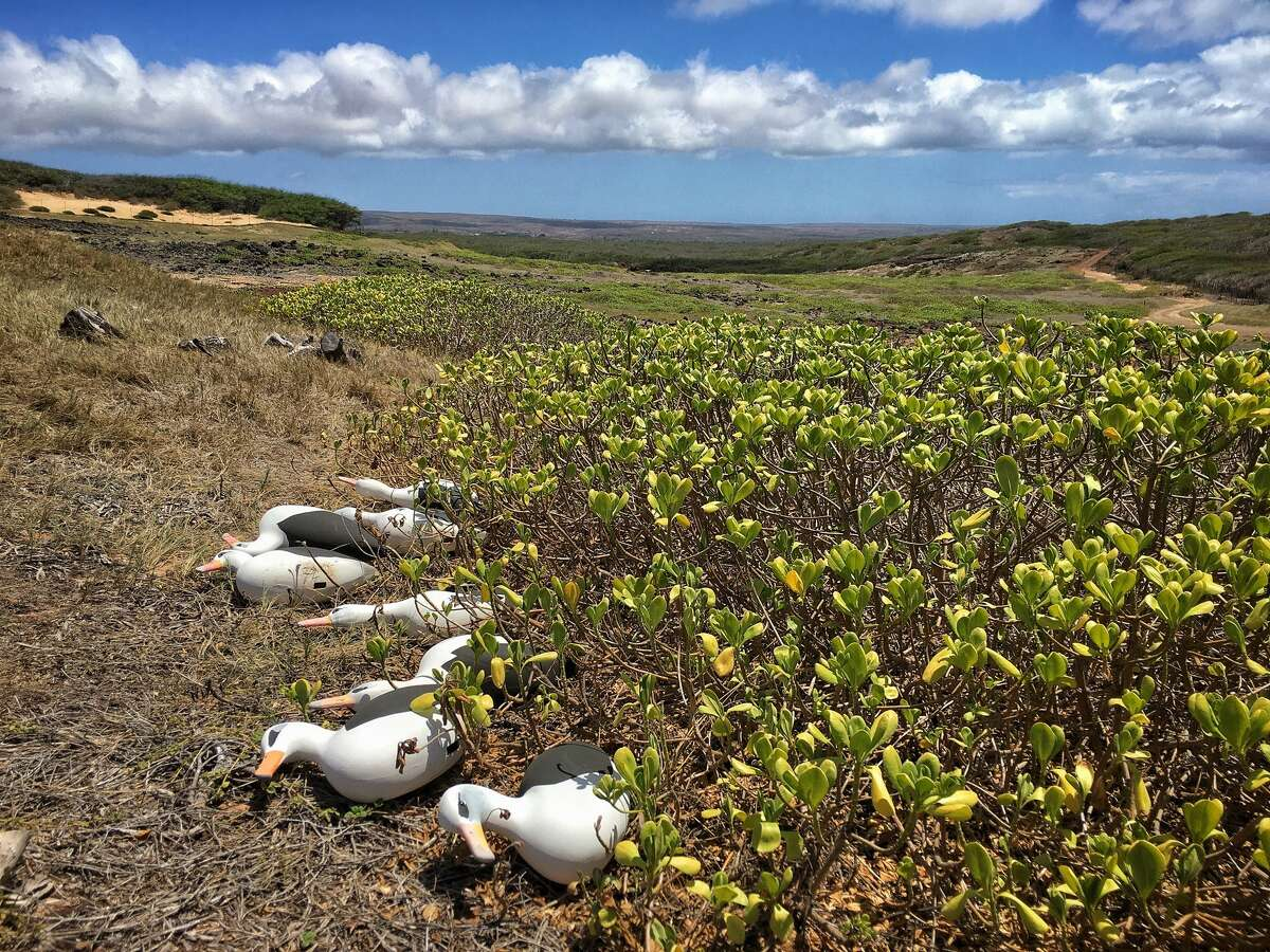 On July 5, 2020, staff at the Molokai Land Trust secured decoys the day before Hurricane Douglas passed the North Shore of Molokai.