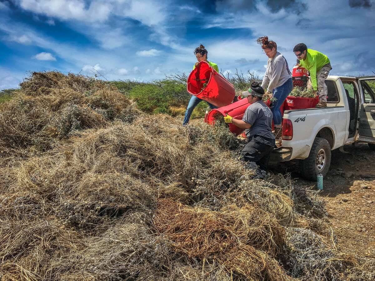 Interns offload a truckload of weeds on July 12, 2018.