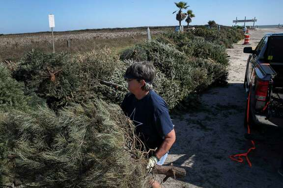 Barbara Perk unloads Christmas trees Tuesday in Surfside Beach. They will be used to restore the dunes eroded by storms.