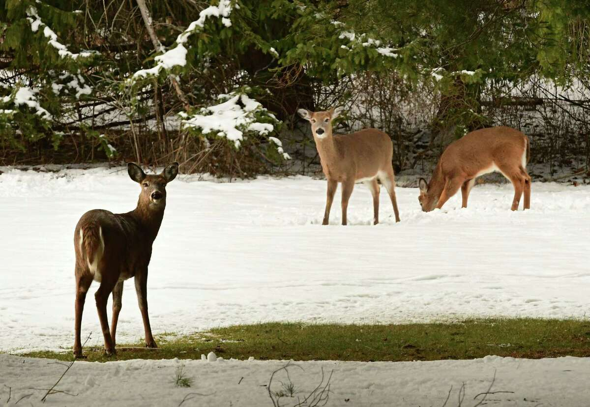Deer look for food near Albany Country Club on Wednesday, Jan. 6, 2021 in Voorheesville, N.Y. (Lori Van Buren/Times Union)