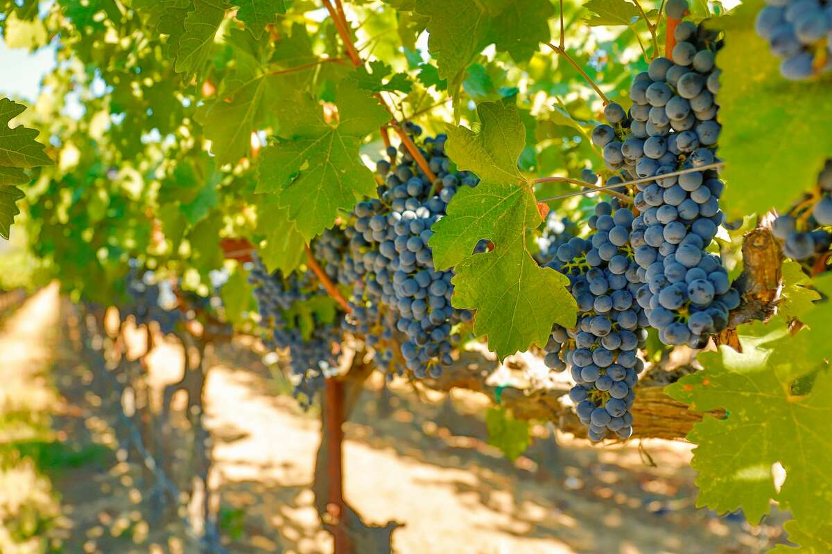 Wine grapes hanging from the vines, with beautiful grape leaves and vineyard in Napa Valley, California.