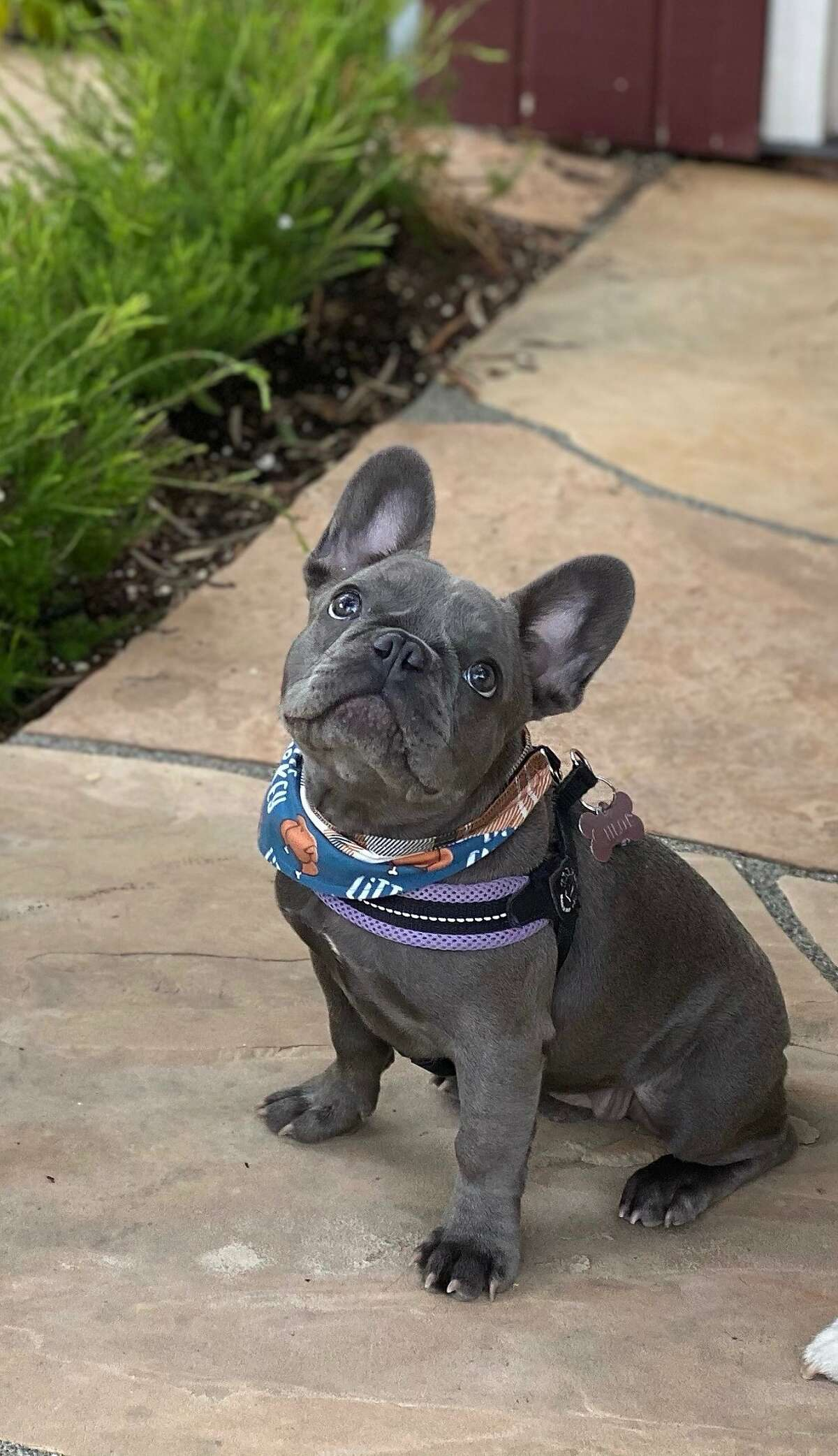 Sarah Vorhaus said her 5-month-old French bulldog was stolen by three men who assaulted her at gunpoint Tuesday night while she was walking her dogs in the Russian Hill neighborhood of San Francisco.