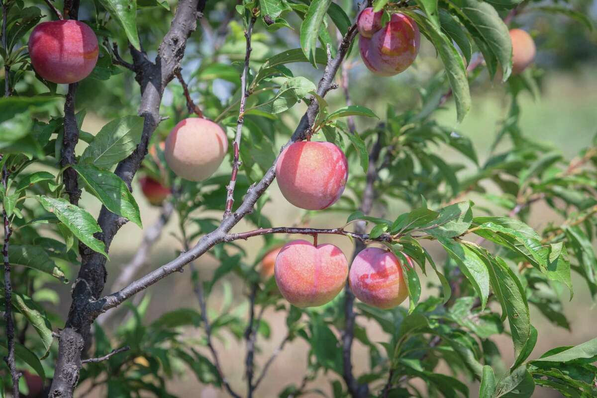 All this cool weather bodes well for the backyard peach production in San Antonio this growing season, because a key to a successful peach crop is the
