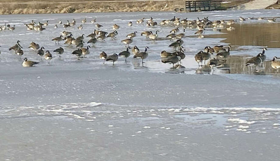 Geese flock to an icy lake at Nichols Park. Photo: Susan Hall