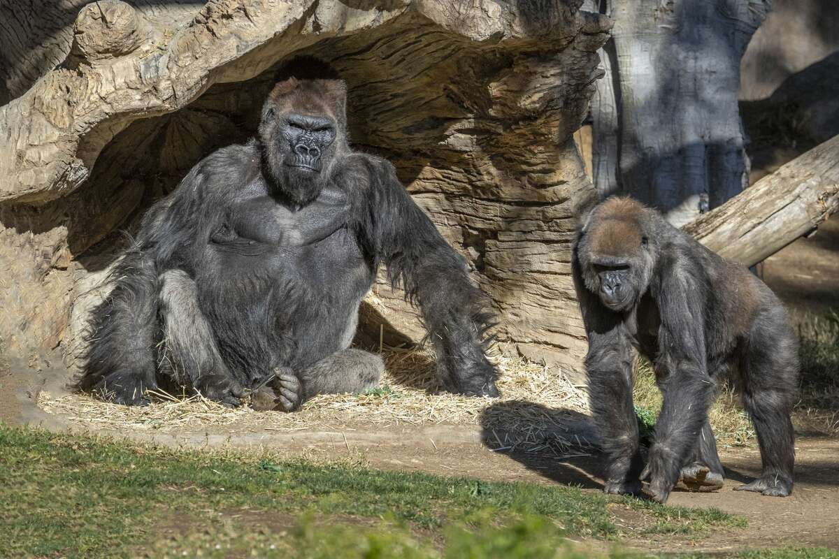 Members of the Gorilla Troop at the San Diego Zoo Safari Park Test Positive for COVID-19