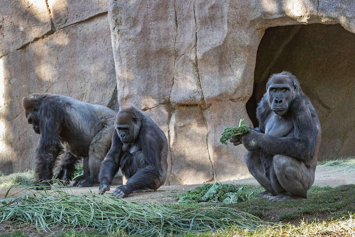 Several gorillas at the San Diego Zoo tested positive for the coronavirus, the zoo said Monday.