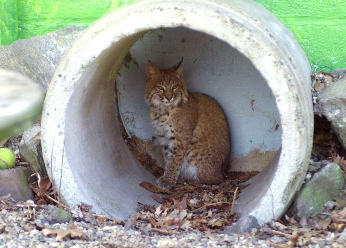 A file photo of a bobcat in Connecticut.