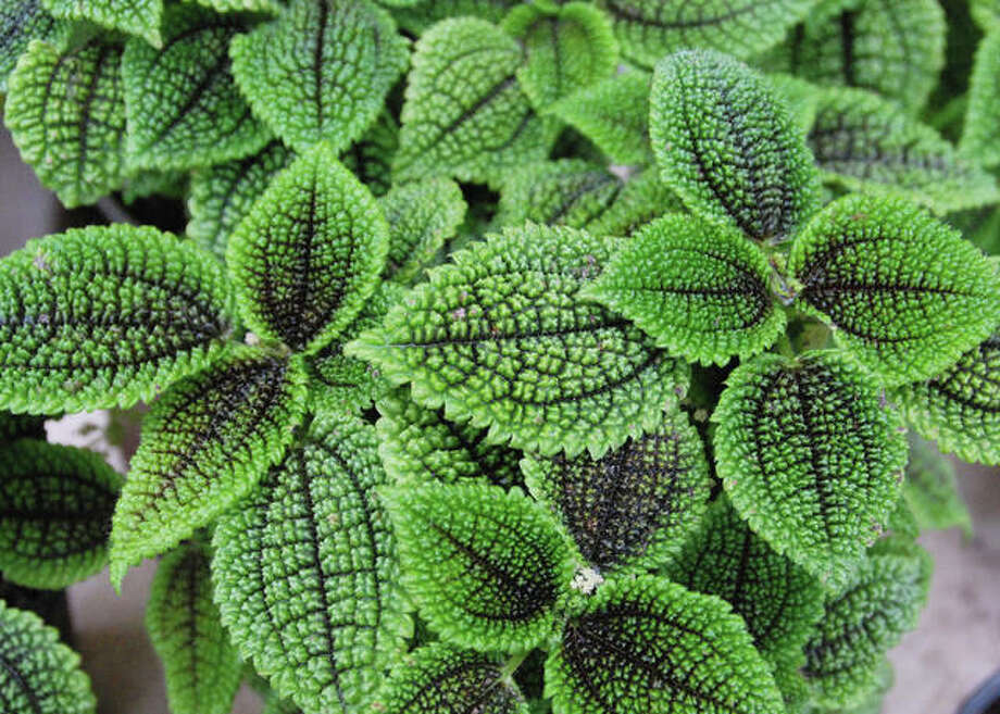 Water moisture-loving plants, like Moon Valley Pilea, when the top few inches are barely moist. Allow the top few inches of soil to dry for cacti and succulents. And always pour off excess water that collects in the saucer. Or use gravel trays to capture the excess water, eliminating this task.