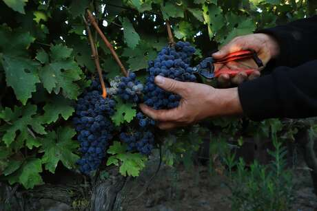 An Israeli Arab worker picks Cabernet Sauvignon grapes for Bazelet Hagolan winery on its last day of the 2020 harvest on October 5, 2020 at Tel Mahfi in Israel's Golan Heights.