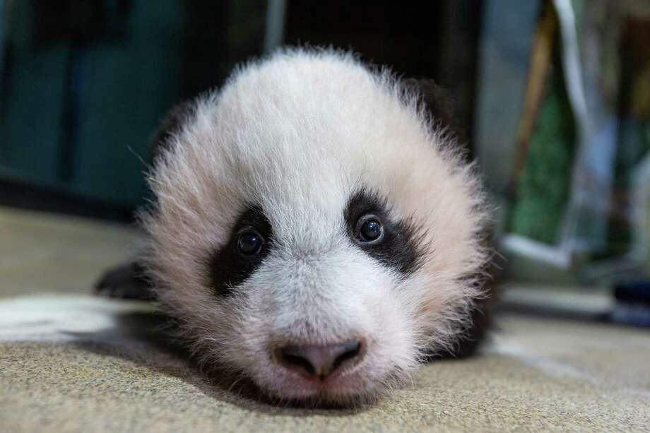 The zoo's giant panda cub has mastered walking, the zoo says, and has started rock-climbing. Photo: Smithsonian Institution/National Zoo. / Smithsonian Institution/National Zoo