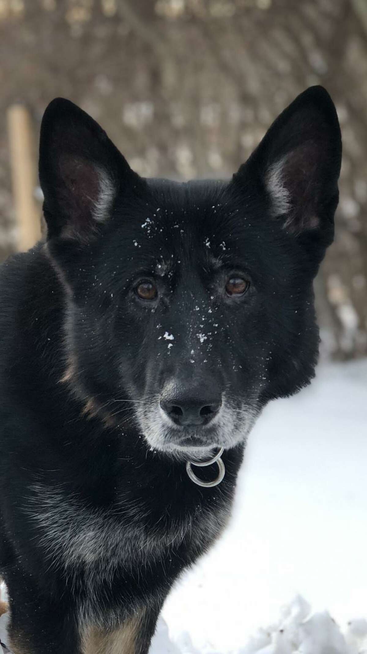 After a decade of service, the New Milford Police Department will say good-bye to retiring K-9 Kira.