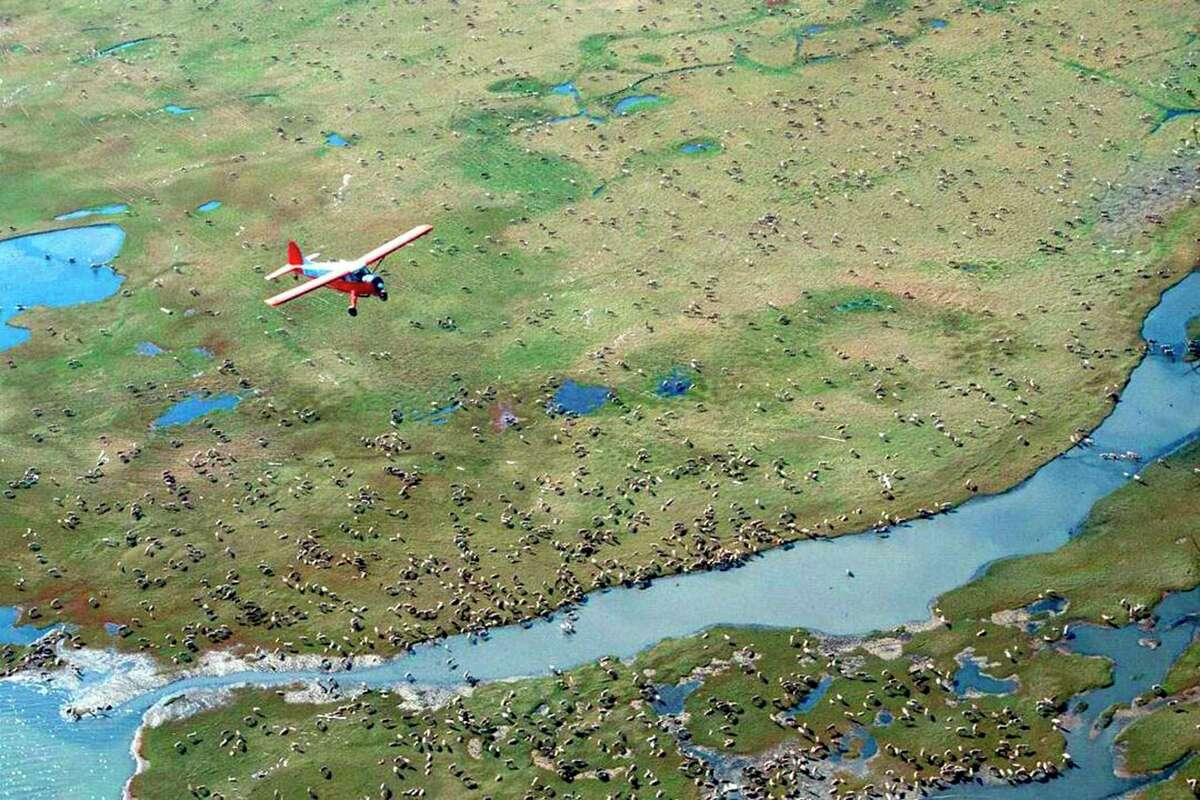 An airplane flies over caribou from the Porcupine caribou herd on the coastal plain of the Arctic National Wildlife Refuge in northeast Alaska. The U.S. government held its first-ever oil and gas lease sale Wednesday, Jan. 6, 2021 for Alaska's Arctic National Wildlife Refuge, an event critics labeled as a bust with major oil companies staying on the sidelines and a state corporation emerging as the main bidder.