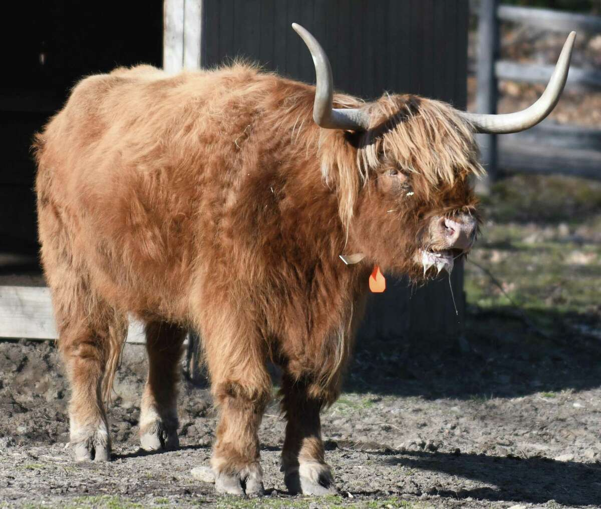 A highland cow slobbers outside its stable at the Stamford Museum & Nature Center in Stamford, Conn. Sunday, Jan. 10, 2021.