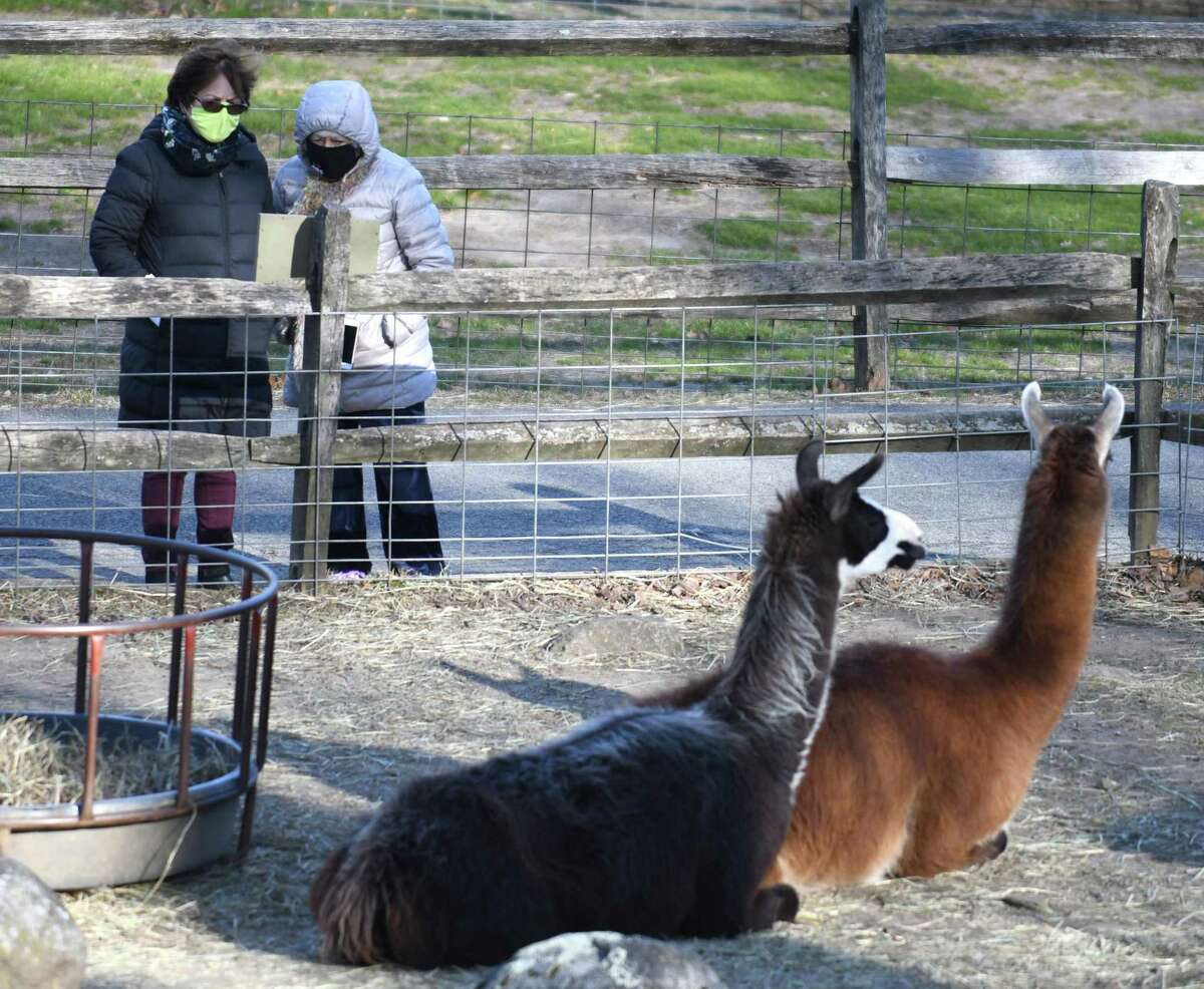Stamford residents Louise and Dabra Stern observe a pair of llamas at the Stamford Museum & Nature Center in Stamford, Conn. Sunday, Jan. 10, 2021.