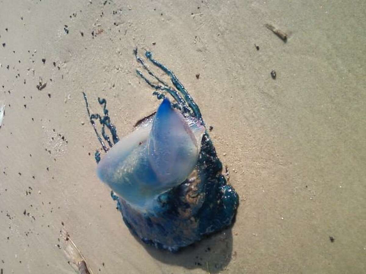 The dark blue point on this Portuguese Man Of War would follow me around as I would circle it on the beach.