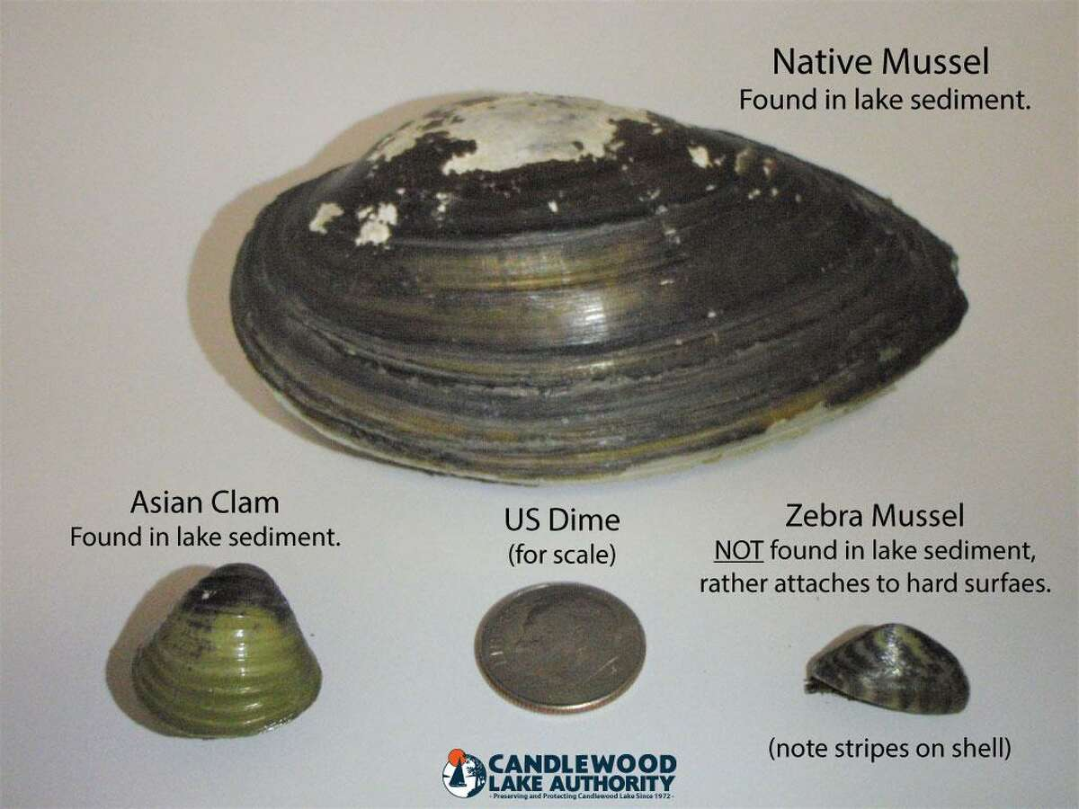 Candlewood Lake Authority officials discovered a third zebra mussel on the lake's shoreline prompting it to investigate the extent of the species in the area.