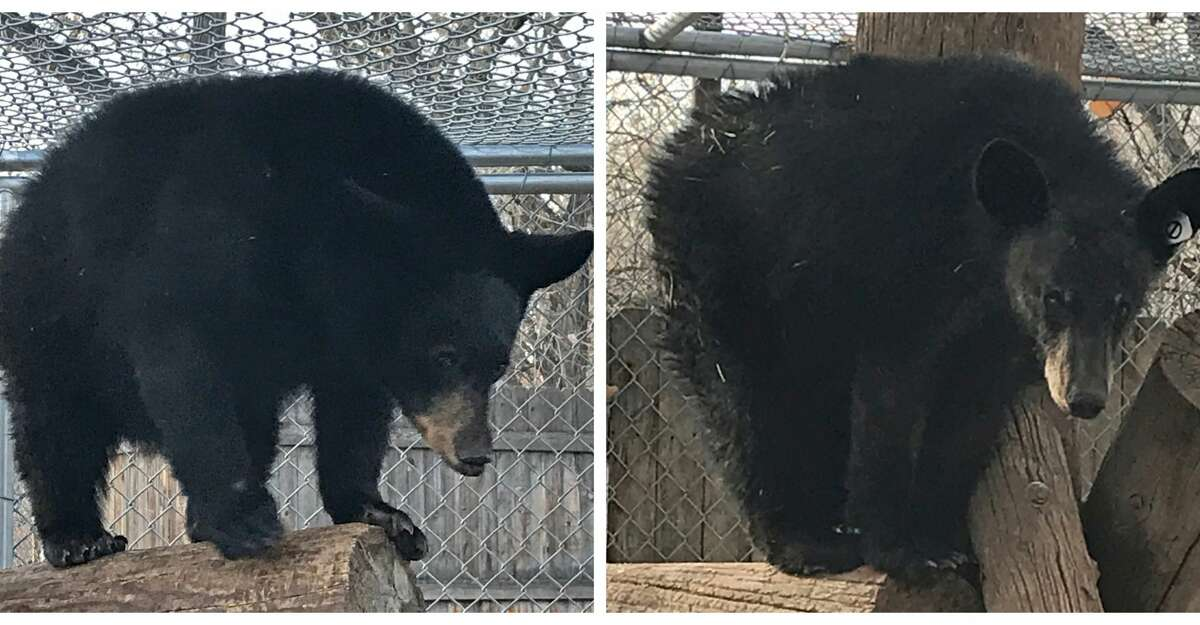 Miss Texas and Mr. Tex, the first bears from Texas to go through the rehabilitation process.