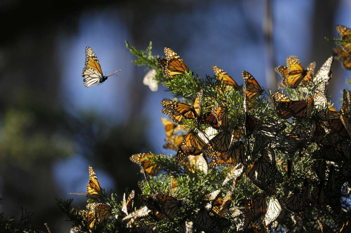 Monarch butterflies rest on a tree branch in an overwintering habitat. A recent report found their population has dropped to a new record low.