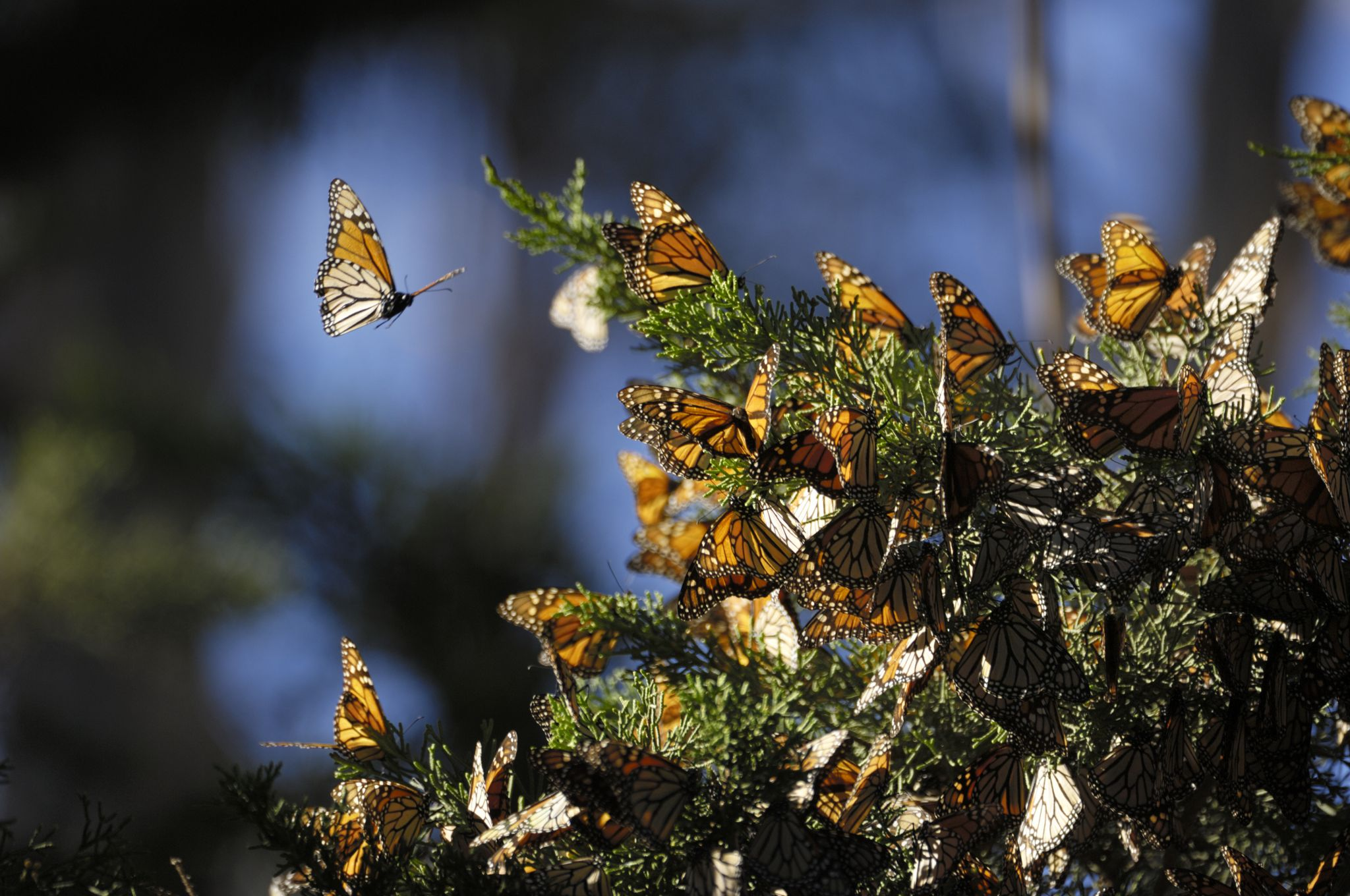 Report: Bay Area county's western monarch butterfly population hits record low, only 200 counted