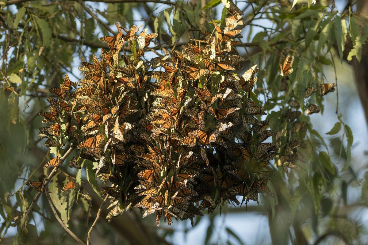 Thousands of monarch butterflies cluster on eucalyptus tree limbs at Ardenwood Historic Farm in Fremont on Jan. 27, 2018. Fewer than 2,000 of the butterflies are left in the state of California, according to a recent count from the Xerces Society.