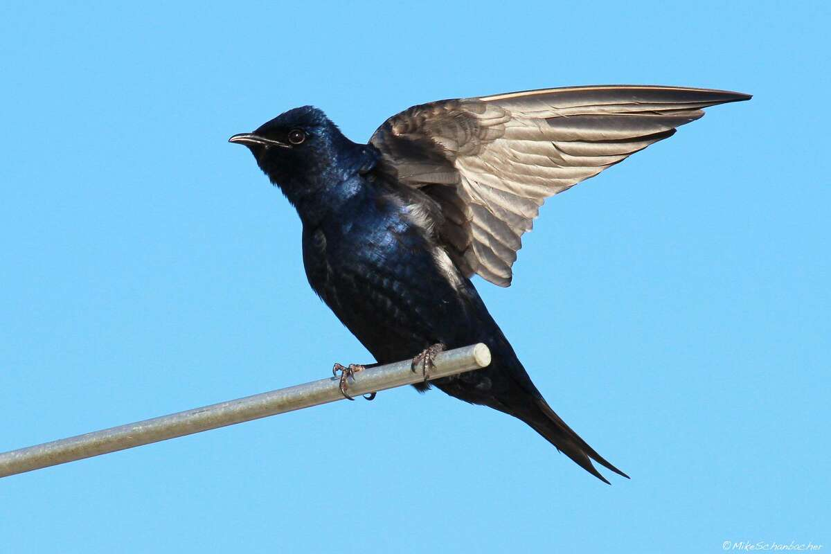 Purple Martins should begin arriving in the Houston region in the next few weeks.