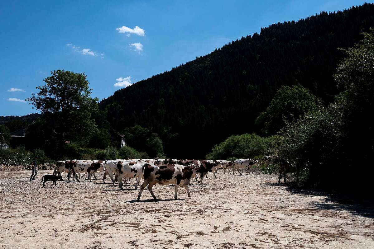 Cows walk along the dry Doubs river in July 2020 as a heatwave hit France. The European Union determined that 2020's average surface temperature ranked alongside 2016's record high or was just slightly behind it.