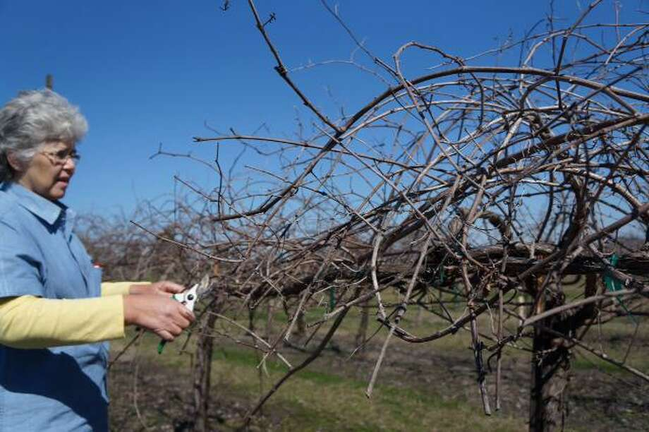 Linda Meitzen with Windy Winery near Brenham is pruning vines in order to limit fruit production to establish quality vines. Photo: Courtesy Photo