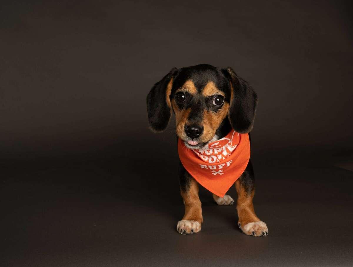 Lucy Shelter: DAWS, Danbury Breed: Beagle/Bluetick Coonhound Team Ruff