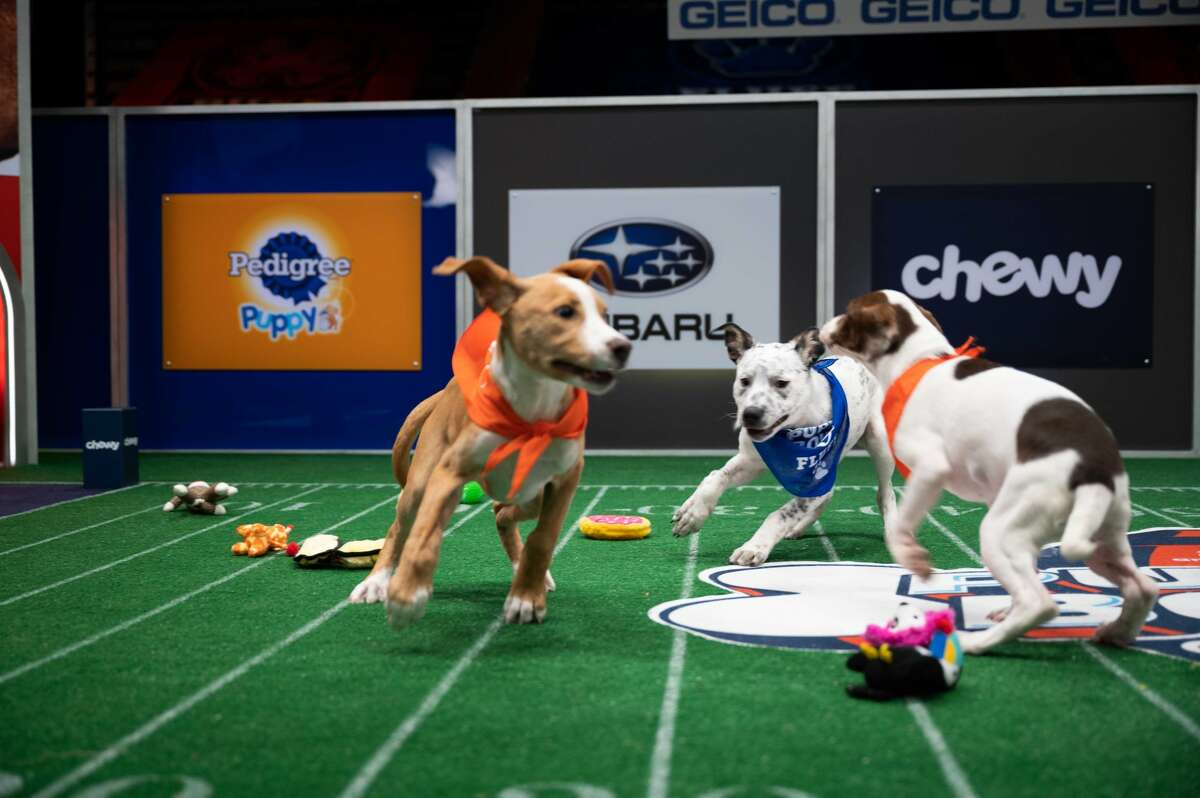 Scenes from the filming of Puppy Bowl XVII on Animal Planet. PAWS, which has one puppy playing in the Puppy Bowl, has seen a similar trend. Lisa Barnett, the Dog Adoption and Intake Coordinator at PAWS, said many of their dogs are coming from other parts of the country because the Connecticut area has seen a decrease in strays since the pandemic hit.
