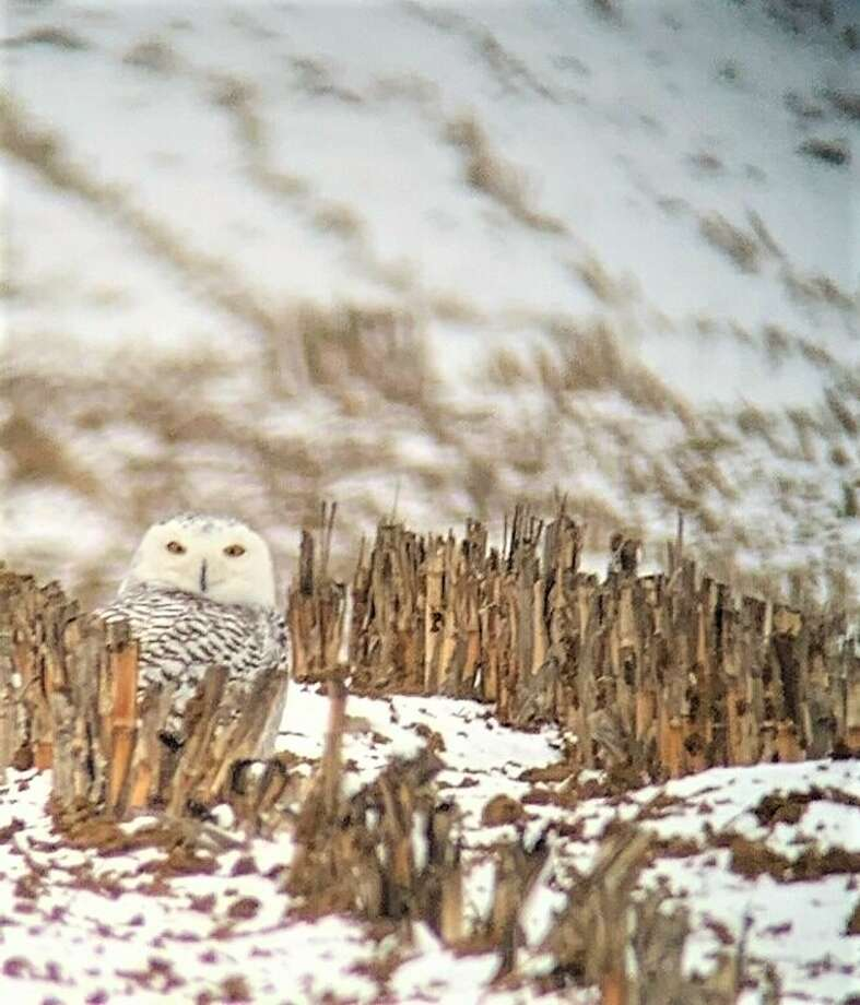 The snowy owl was one of three owl species spotted in Manistee County during this year's Christmas bird count. Photo: Brian Allen