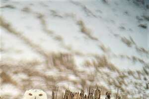 The snowy owl was one of three owl species spotted in Manistee County during this year's Christmas bird count.