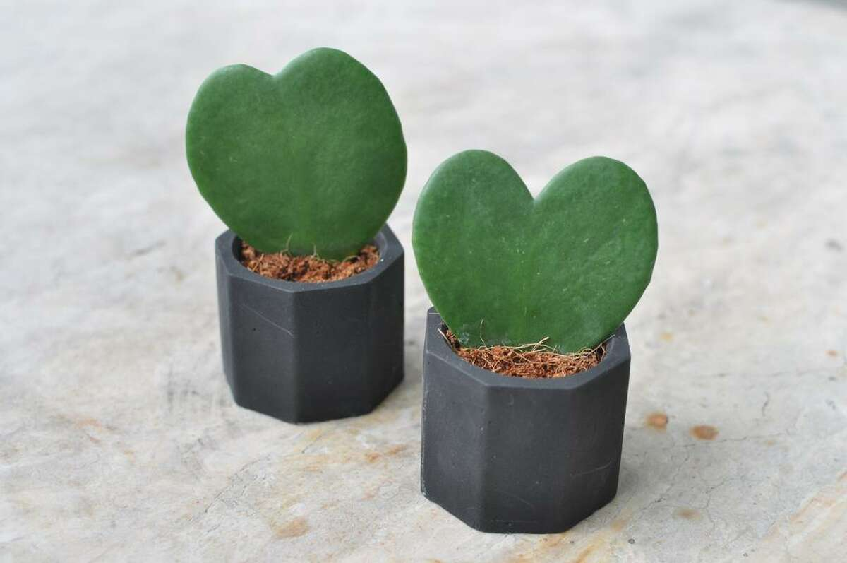The heart-shaped Hoya succulent is a popular house plant.