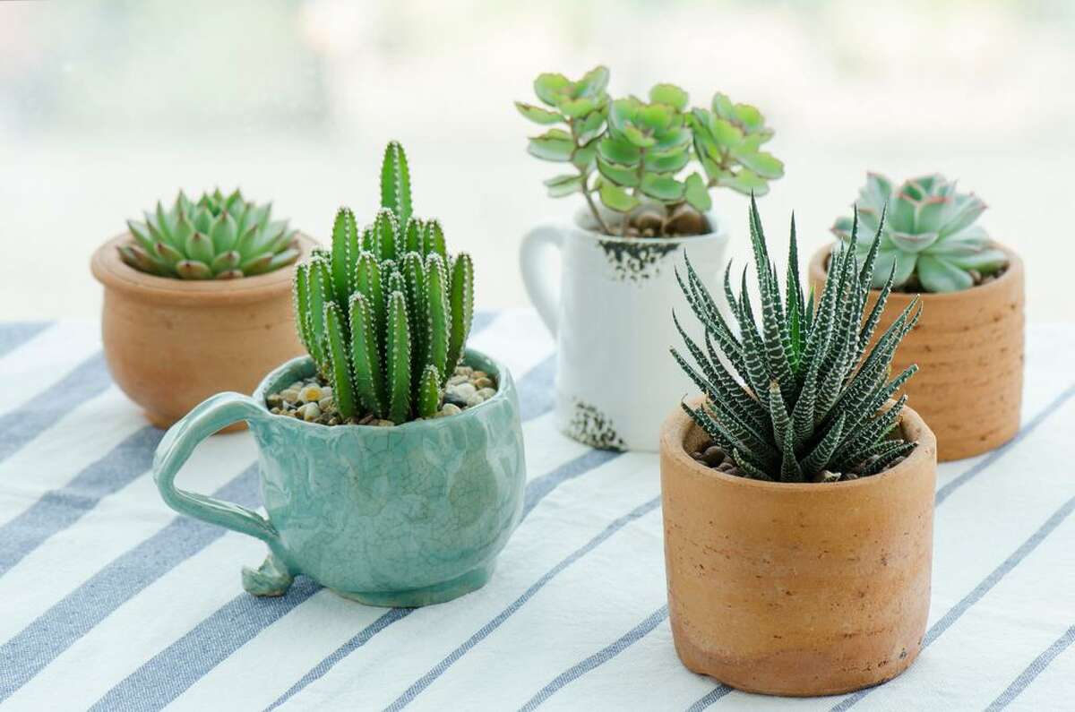Cactuses are the most searched house plants on Instagram.