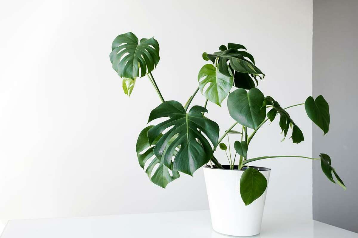 Monstera plants are among the most popular house plants on Instagram.