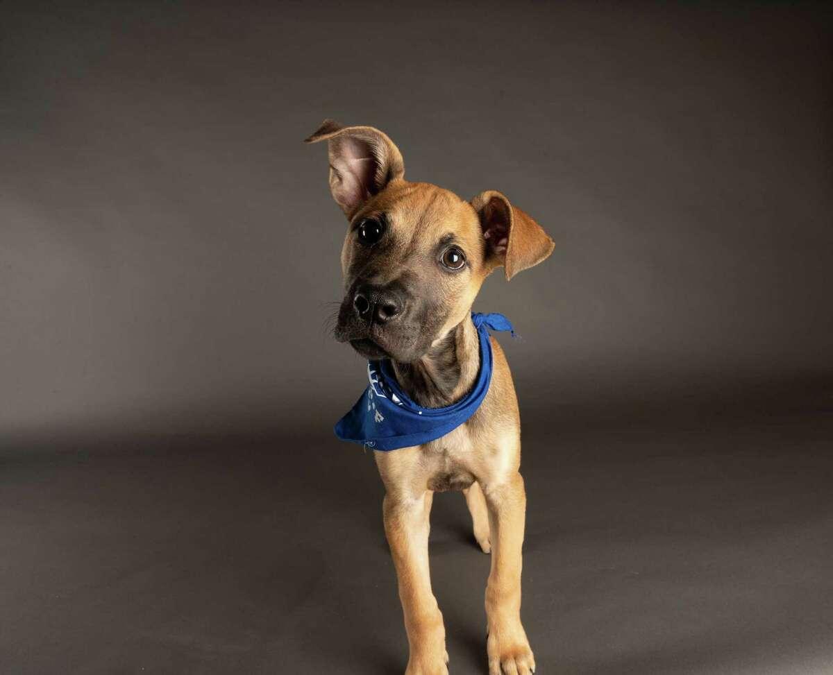 Sasha Shelter: DAWS, Danbury Breed: American Staffordshire Terrier/Boxer Team Fluff