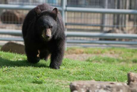 In this photo taken Friday, Sept. 16, 2011, nine month old black bear Ernie walks around in his enclosure at the Southeast Texas Bear Refuge just north of Willis, Texas. The purpose of the Southeast Texas Bear Refuge is to provide care and welfare for orphaned, abused, abandoned, neglected, confiscated or captive bred surplus black bears. The refuge offers temporary placement during relocation or medical treatment, as well as offering a permanent home for a limited number of black bears.