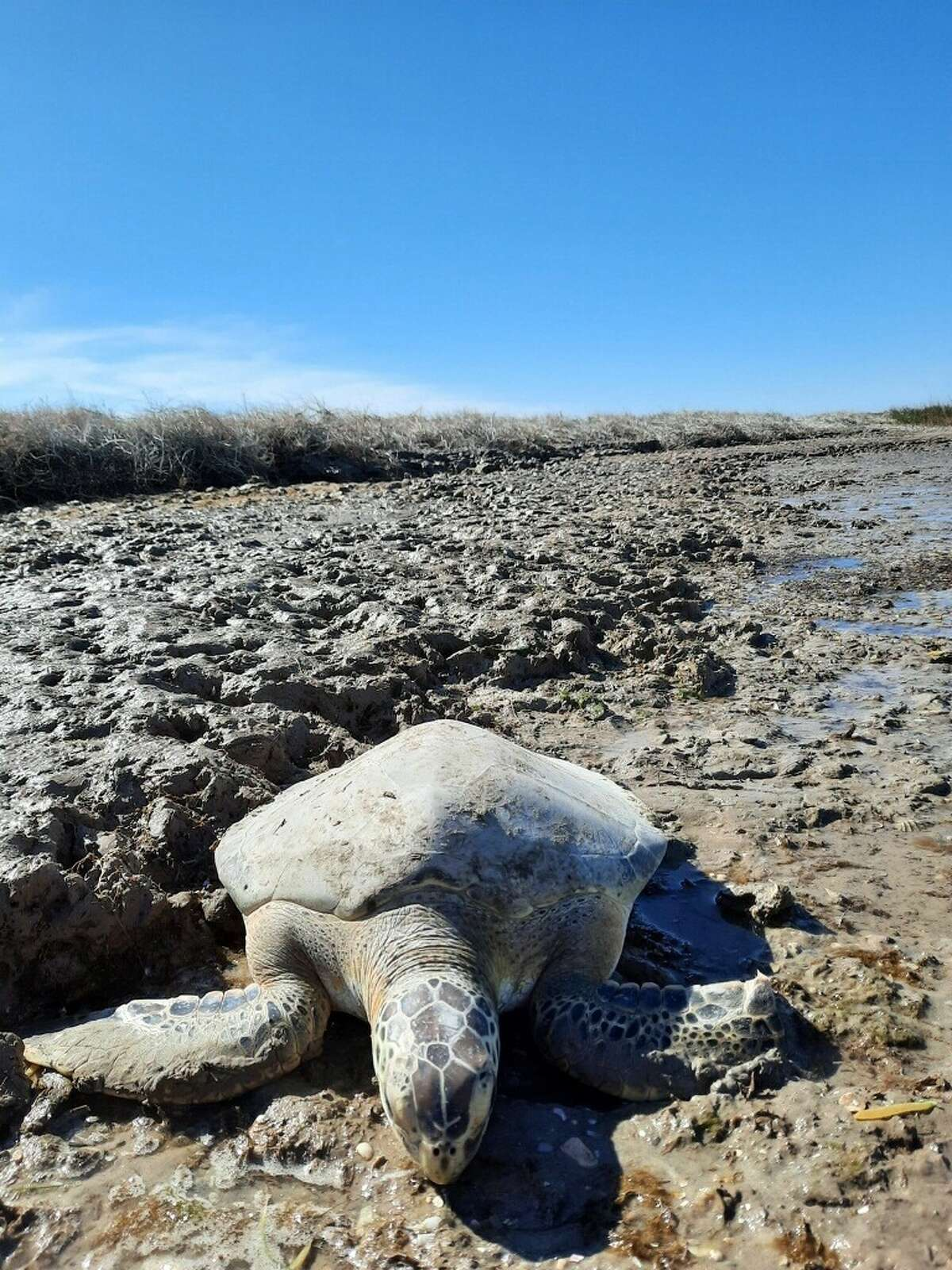 On Wednesday, staff from the Texas Parks and Wildlife Department rescued several cold-stunned sea turtles found in Matagorda Bay, according to a Facebook post from Coastal Fisheries - Texas Parks and Wildlife. The bay is about 80 miles northeast of Corpus Christi.
